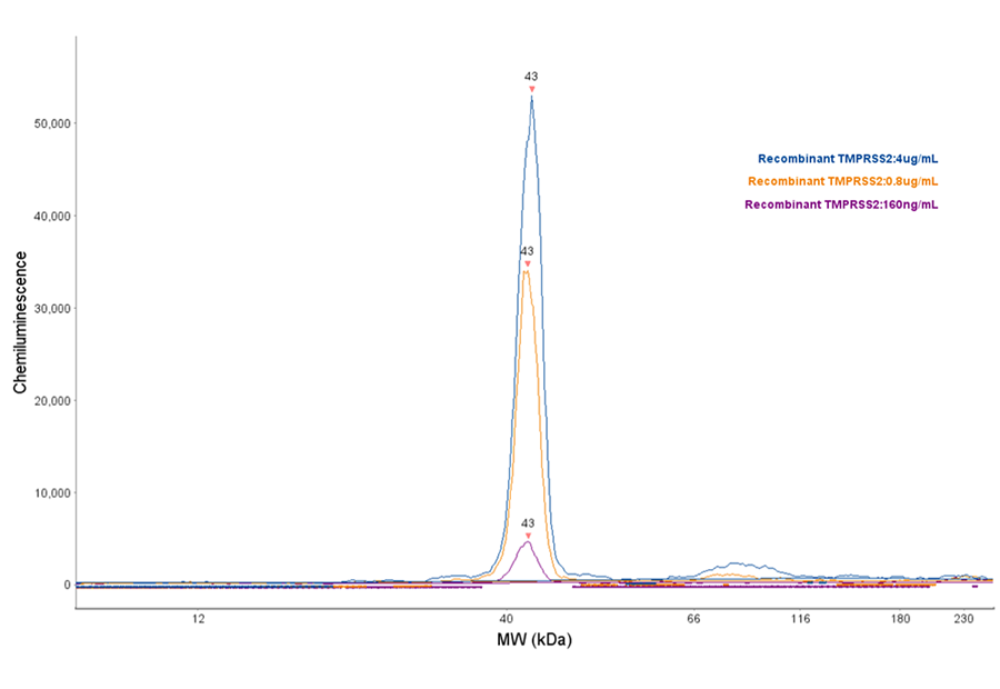 Simple Western TMPRSS2 protease assay enables detection of recombinant human TMPRSS2 protein (Novus H00007113-Q01, 0.1mg/mL) using goat anti-TMPRSS2 antibody (Novus NBP1-20984,  1:50 dilution) on a Jess system